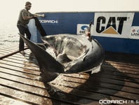 Great white shark, tiger shark ping off coast of Melbourne on Thanksgiving week