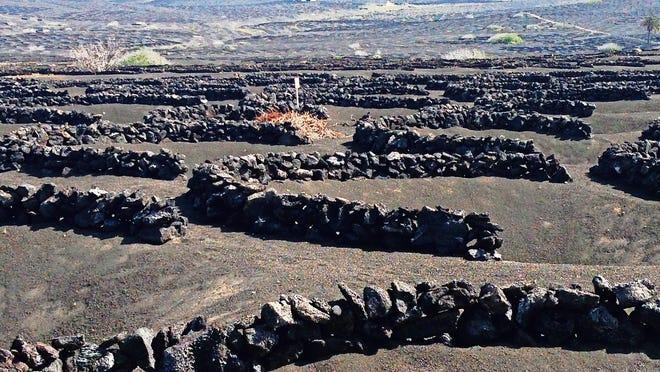 The volcanic vineyards of Lanzarote.