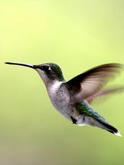 The female Ruby-throated hummingbird will leave for
