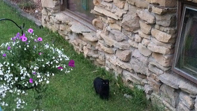 """A black cat nicknamed """"Lucky"""" frequently patrols the northern edge of Waupaca."""
