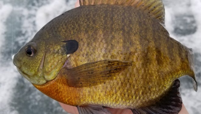 The bright reddish orange belly of this bluegill helps identify it as a big male,  which come June will be responsible for defending spawning beds from both predators and smaller bluegills.