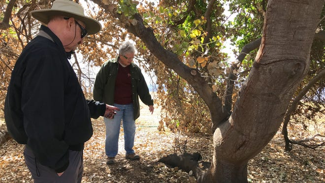 Meher Mount Board President Sam Ervin and interim caretaker Cassandra Bramucci look at a smaller offshoot of Baba's Tree that they hope may grow despite being damaged during the Thomas Fire.