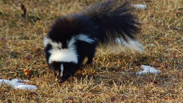 In central PA, a striped skunk is a common sight.