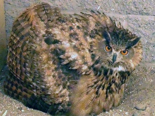 Hermes Eagle owl