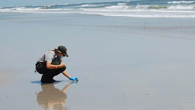 Hammocks Beach State Park Ranger Francine Bozak is placing a baby loggerhead turtle near the surf on Bear Island. The baby turtle was recently recovered from a turtle nest after an inventory determined that 110 loggerheads hatched from that nest.