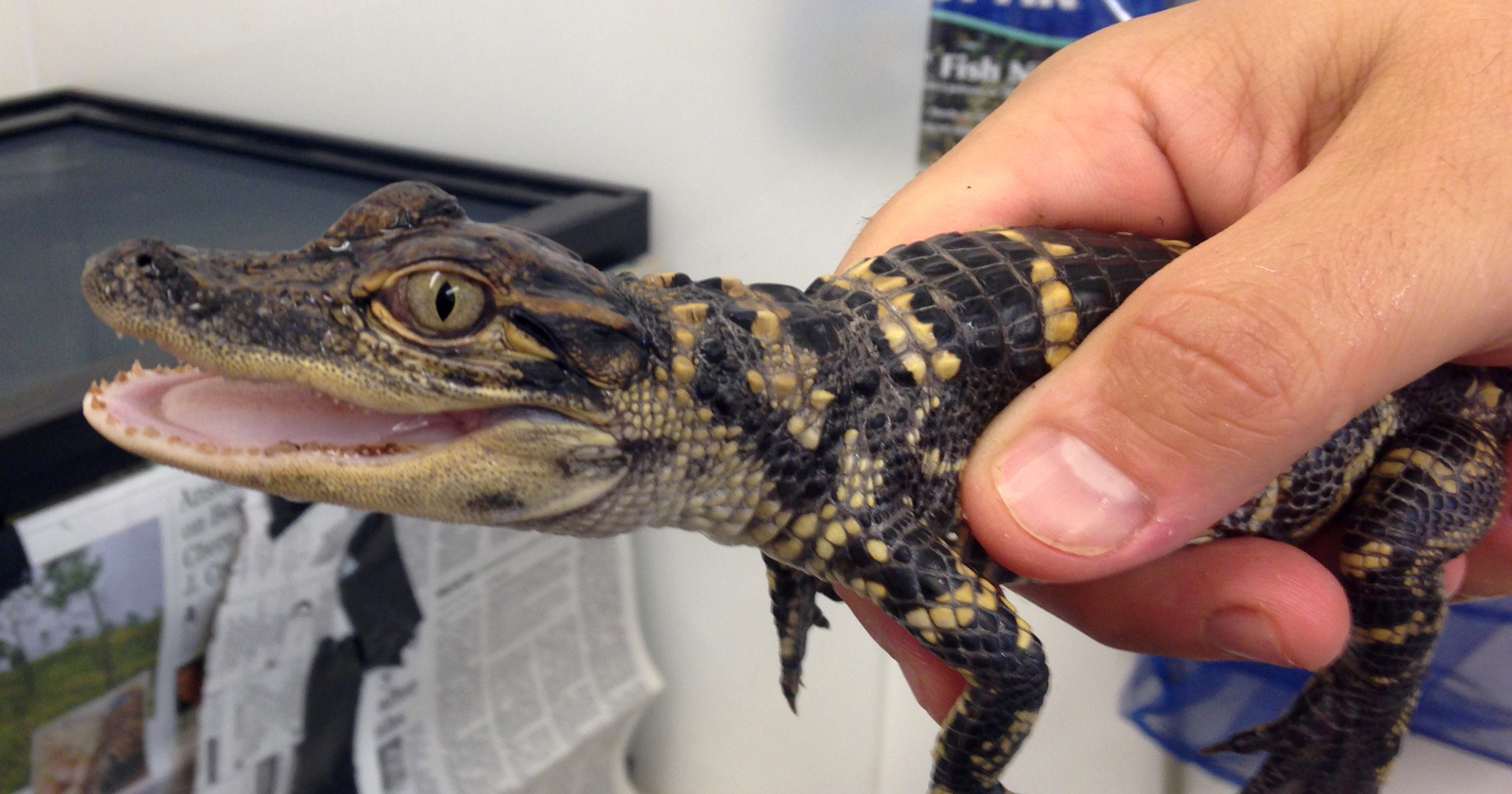 State seizes baby alligator in Clyde