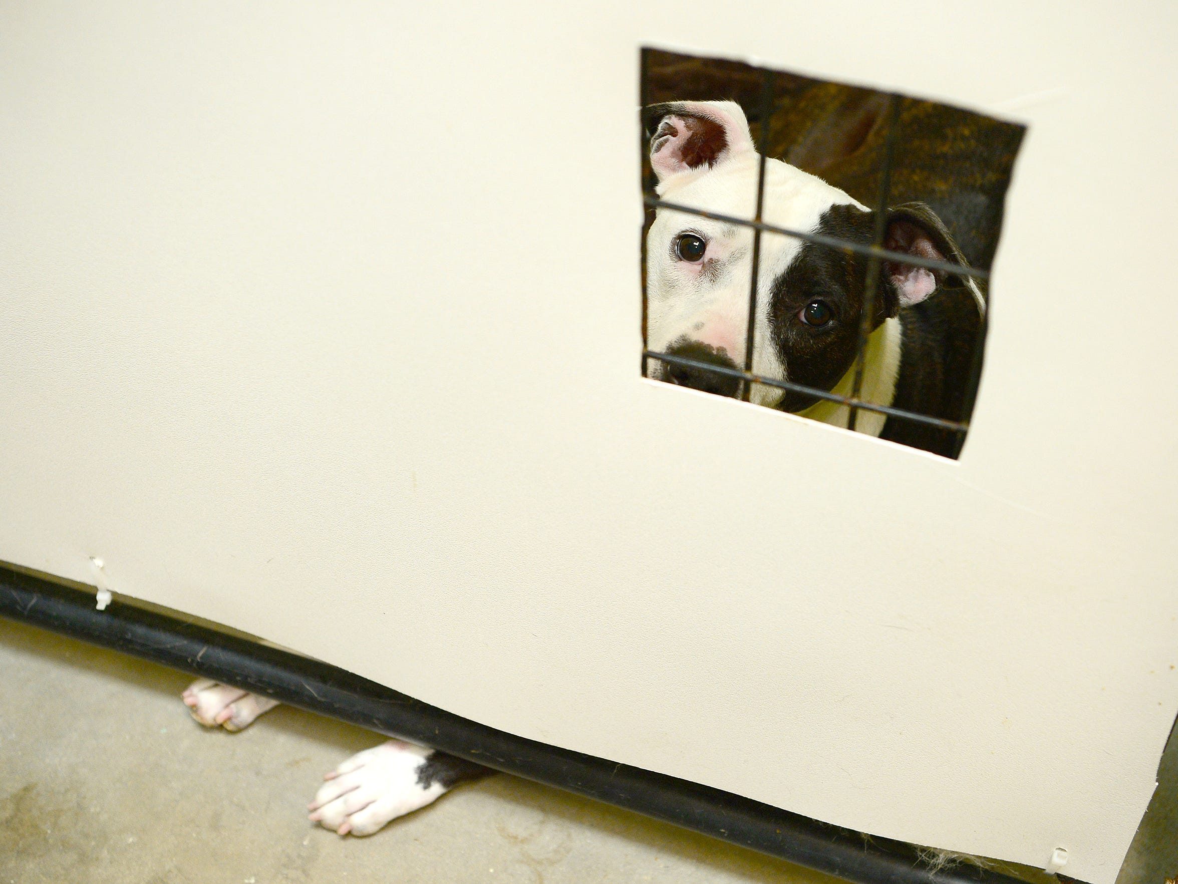 Dixie, a dog up for adoption, peers through a hole