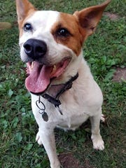 Heidi is a young, spayed, female cattle dog/husky mix.