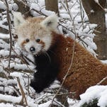 A red panda enjoys the snow at the Detroit Zoo. Check out the zoo's Wild Winter weekend activities, Feb. 6-7.