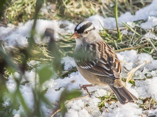 REN0115 bird of month white crowned sparrow.jpg