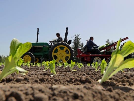 Workers plant romaine lettuce, Thursday, April 26,
