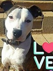 Xena is an adult, spayed female pit bull terrier. She