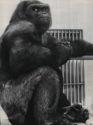 Samson, the Milwaukee County Zoo's beloved lowland gorilla, is the inspiration behind the zoo's Samson Stomp & Romp, the annual fundraising run/walk.