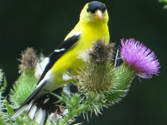 Goldfinch are now more likely to be spotted in the Cherry Valley Trails Pollinator Meadow off Cleveland Avenue in Cherry Hill.