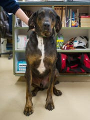 Copper is a 3-year-old coon hound mix. Neutered male.