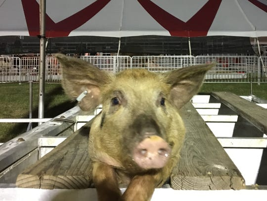 This pig decided to pose for the camera while in the