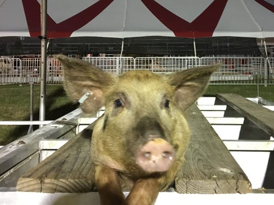 This pig decided to pose for the camera while in the starting gate Wednesday night at the state fair pig races. It is one of the more popular events each year.