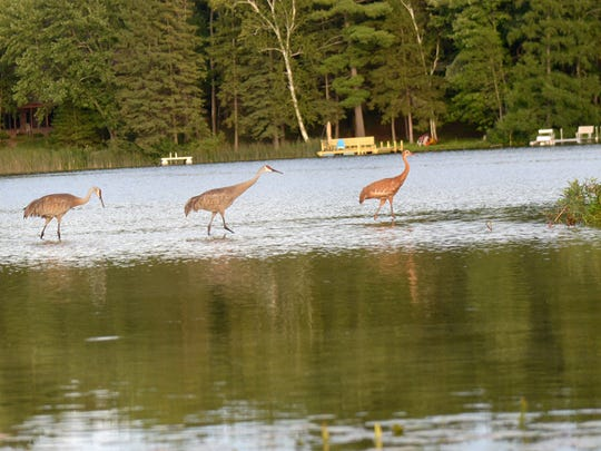 FishingBirds,SCranes3: A family of sandhill cranes
