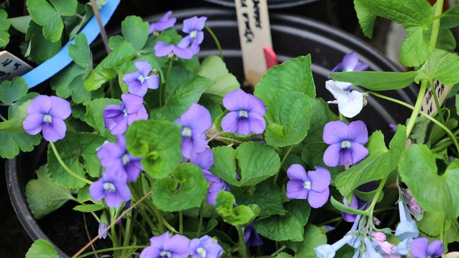 Rockaway Valley Garden Club will offer native and nonnative plants for sale Saturday in Boonton. Here, native violets are shown.