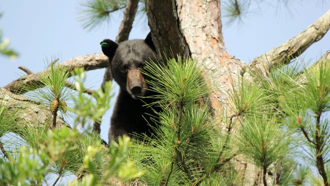 A 350-pound black bear sits in a tree in Shalimar last summer.