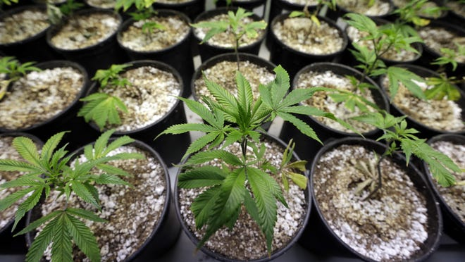 Young marijuana plants stand under grow lamps on Jan. 13 at the Pioneer Production and Processing marijuana growing facility in Arlington, Wash.