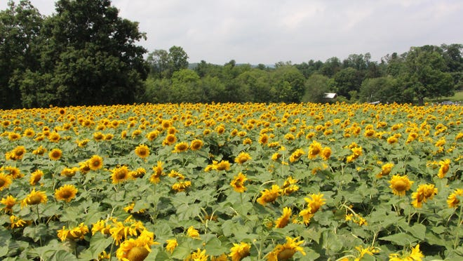 View from a wooden bridge in the center of the sunflower maze at Alstede Farms in Chester.