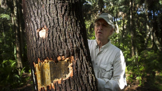 Golden Gate resident, Franklin Adams checks one of his redbay trees that is dying from Laurel Wilt. The disease is caused by a fungus that is transmitted by the exotic redbay ambrosia beetle. It is killing redbay trees throughout the everglades and Florida.