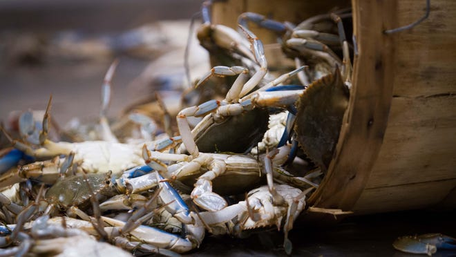 Blue crabs are threatened as much by pollution and hardening of shorelines as by overharvesting.