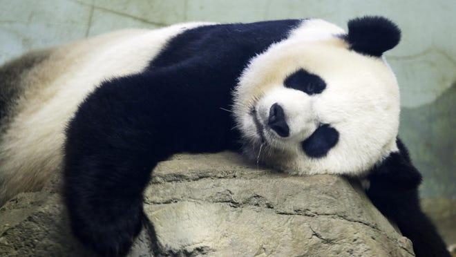The Smithsonian National Zoo's Giant Panda Mei Xiang sleeps Aug. 12 in the indoor habitat at the zoo in Washington, D.C.