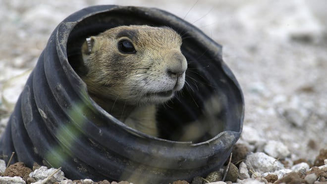 A prairie dog looks out from an artificial burrow made from irrigation piping.