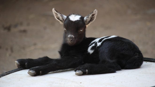 Baby pygmy goats are among the new attractions at the Binghamton Zoo at Ross Park.