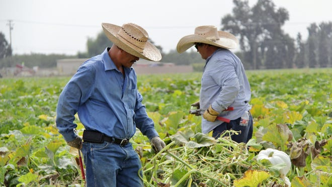 In this archive photo, Vossler Farm employees harvest pumpkins south of Visalia. Democratic representatives want farm workers to get overtime pay.