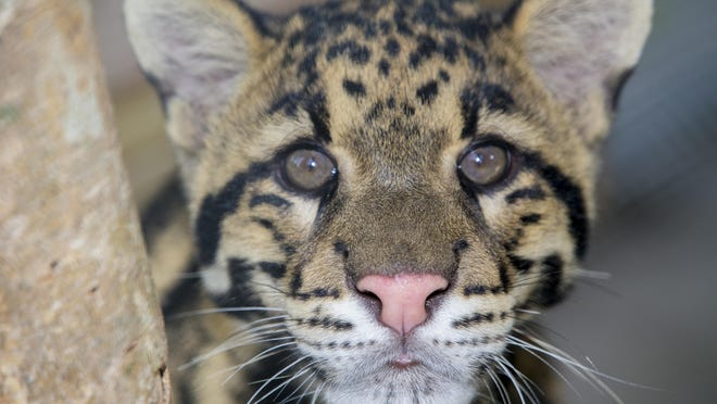 This clouded leopard and another at the Naples Zoo were matched in a breeding program.
