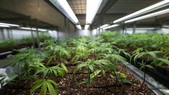 Cloned plants are shown at the Trulieve medical marijuana facility in Quincy on Feb. 1.