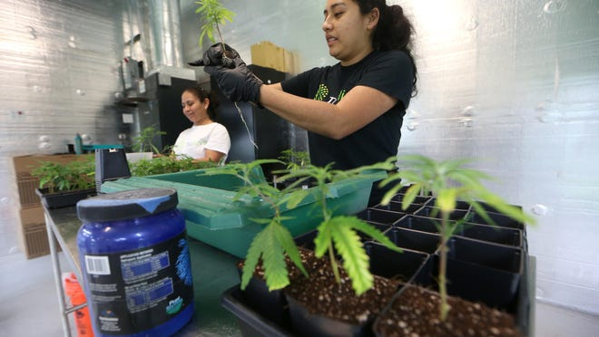 Florida Trulieve grower Raquel Rivera repots cloned plants at their medical marijuana facility in Quincy, Florida, earlier this year.