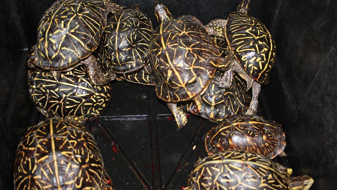An undercover sting operation by the the Florida Fish and Wildlife Conservation Commission led to the seizure of hundreds of turtles taken illegally and the arrests of two men who were trafficking wild-caught turtles for sale on the black market, FWC said.