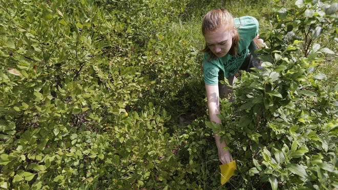 Arden Blumenthal, a NY-NJ Trails conference intern, marks a Scotch broom plant, an invasive species, found by Dia, a plant sniffing dog, in Harriman State Park in Tuxedo, N.Y., Tuesday, Aug. 6, 2019. The nonprofit New York-New Jersey Trail Conference has trained Dia to find Scotch broom plants in two state parks 50 miles (80 kilometers) north of New York City. The invasive shrub is widespread in the Pacific Northwest but new to New York, and land managers hope to eradicate it before it gets established.