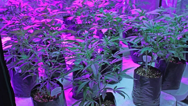 Early stages of marijuana growing at Coastal Aeroponics, in Warwick. The business  is among the 50-plus cultivators supplying the state's three -- eventually to be nine --dispensaries with medical marijuana.