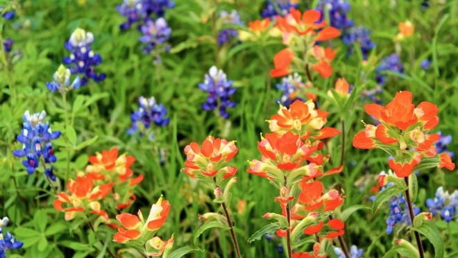 Bluebonnets and Indian paintbrush are the quintessential spring bloomers, dotting highways throughout the state.