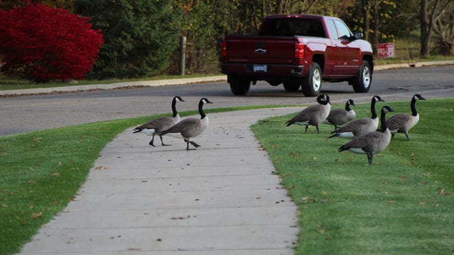 Geese cross the sidewalk next to ProMedica Charlotte Stephenson Manor in this file photo. Those who walk and run in the area say they are tired of having to dodge the goose poop that litters the sidewalk. The Adrian City Commission was previously considering an ordinance that would ban feeding wild animals, and at Monday's commission meeting, unanimously voted to pass an ordinance outlawing the feeding of wild animals in the city.