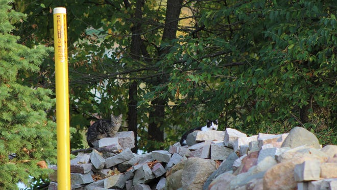 Two cats sit on a rock wall on Saw Mill Court in Adrian. Discussions continue about how to control the feral cat population after a wild animal feeding ban was passed but did not include the felines.