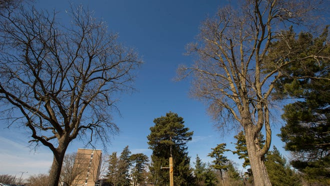 The black walnut tree, left, and hackberry, right, are to be removed so a new ISU dorm can be built. News of the trees' removal prompted outcry from students, who are uniting in an effort to save the trees.