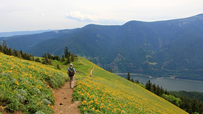 The upper meadows of Dog Mountain on the Washington side of the Columbia River Gorge near Stevenson, feature a spectacular carpet of balsamroot during May and early June. Reaching this paradise, which also offers excellent views of the Gorge, requires a 2800 foot climb.