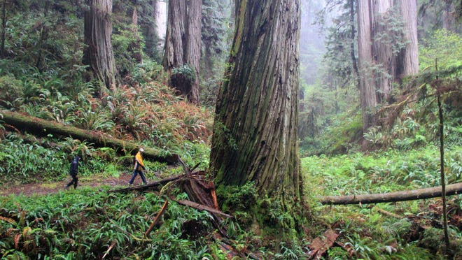 Miner's Ridge Trail in Prairie Creek Redwood State Park features some of the tallest trees in the world.