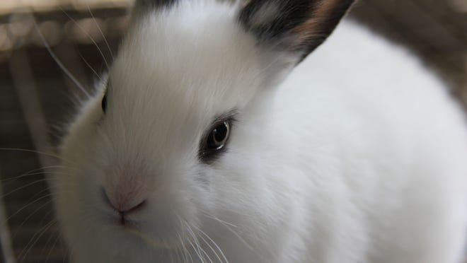 An Easter Bunny looks forward to the weekend at Scio's Lighthouse Farm Sanctuary.