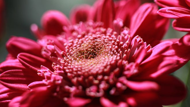 The chrysanthemum is one of the symbols of Japan.