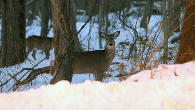 A deer lingers near East Boston Post Road (Route 1) in Rye, across from Woodland Road, on Jan. 28.