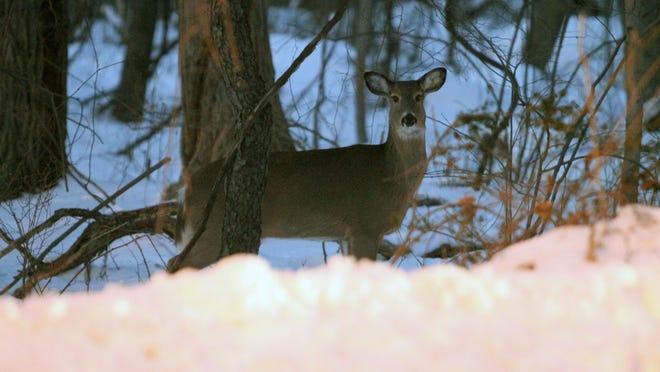 Deer linger near East Boston Post Road, Route 1 in Rye, across the street from Woodland Road, on Jan. 28.