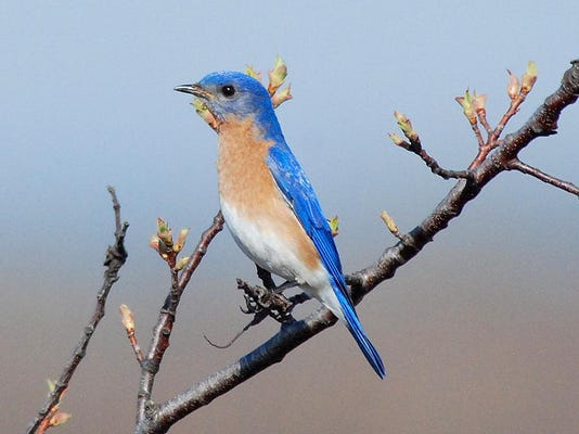 Eastern bluebird by Bill Lynch
