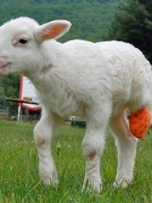 Most of Animal Orthocare's clients are dogs, but they've also treated a lamb